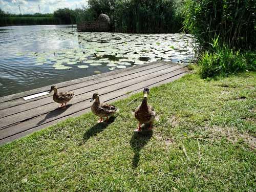 Kinderdijk Patos Holanda - Países Bajos